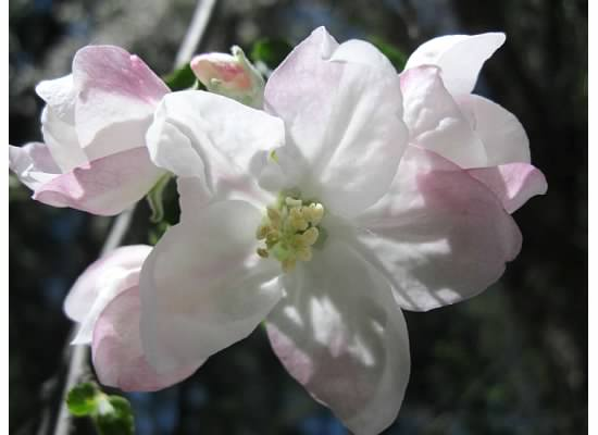 Bloom from a historic apple tree at Curry Village parking lot.