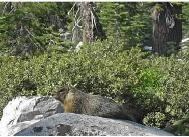Marmot at Ostrander Lake, 2011.