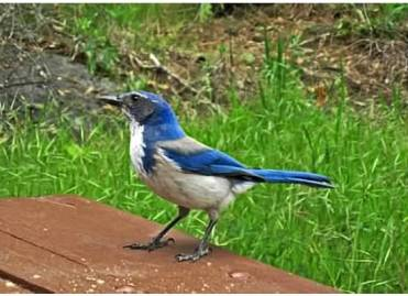 Stellars jay along the Merced River. 2011