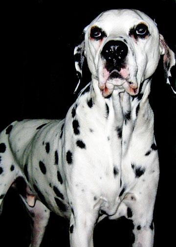 dogs, Dalmatian