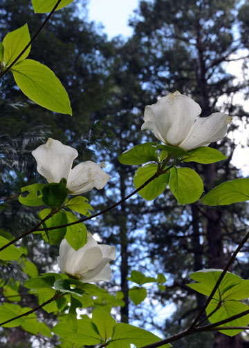 Dogwood tree, Yosemite, Curry Village, Half Dome Village